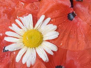 عکس گل مروارید و قطره آب