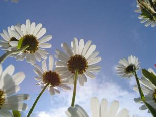 عکس گل های مروارید