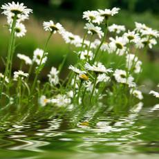 عکس گل مروارید و آب