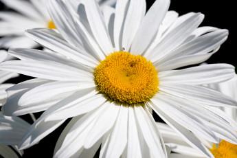 عکس گل مروارید طبیعی