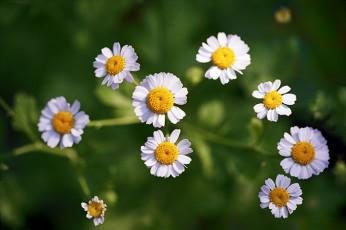 عکس شکوفه های گل مروارید