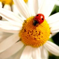 عکس کفشدوزک روی گل مروارید