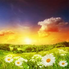 عکس گل مروارید و غروب آفتاب