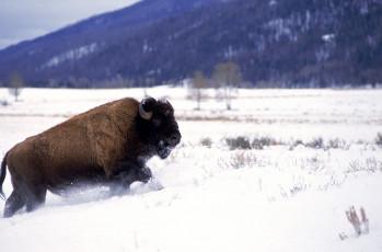 عکس بوفالو در برف