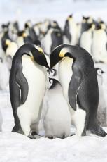عکس خانواده پنگوئن