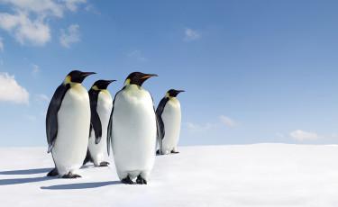 عکس دسته پنگوئن ها در برف