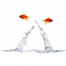عکس پریدن دو ماهی قرمز