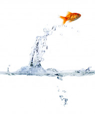 عکس جهش ماهی قرمز از آب