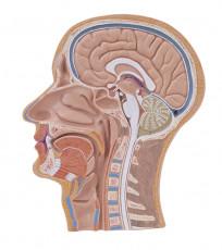 عکس آناتومی نیمرخ جمجمه انسان