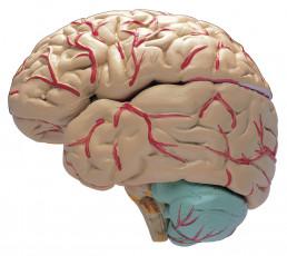 عکس مغز انسان