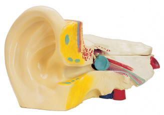عکس آناتومی گوش