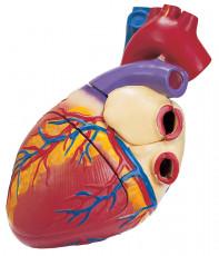عکس آناتومی قلب انسان