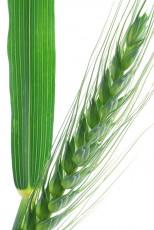 عکس شاخه گندم سبز
