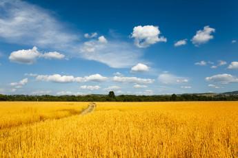 عکس آسمان جنگل و گندمزار