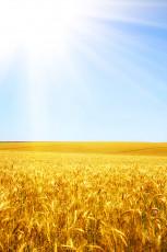 عکس گندمزار و خورشید