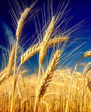 عکس خوشه گندم در گندمزار