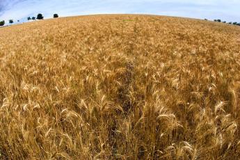 عکس دشت گندمزار