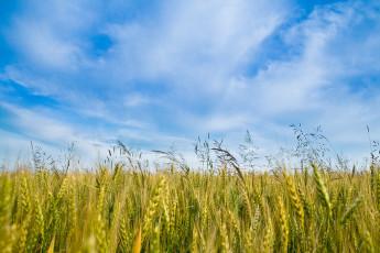عکس خوشه های گندم سرسبز