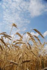 عکس خوشه گندم در مزرعه