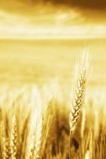 عکس خوشه طلایی گندم در مزرعه