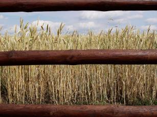 عکس خوشه های گندم در مزرعه کنار نرده