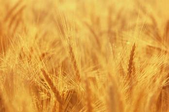 عکس دسته های طایی گندم در مزرعه