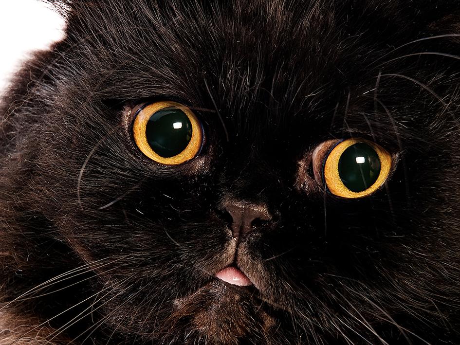 عکس صورت گربه سیاه - مسترگراف